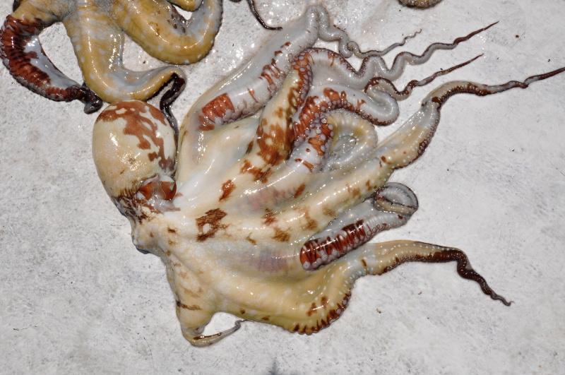 Chobotnice budou k obědu